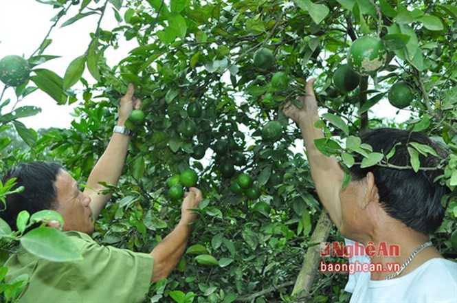 Năm ngoái trồng chanh lãi đậm, giờ bán 1kg không mua nổi ly trà đá Ảnh 1