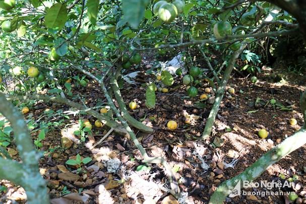 Năm ngoái trồng chanh lãi đậm, giờ bán 1kg không mua nổi ly trà đá Ảnh 4