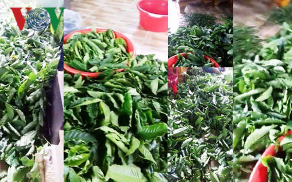 Xôn xao việc bán lá cà phê tươi 50.000 đồng/kg tại Lâm Đồng Ảnh 1