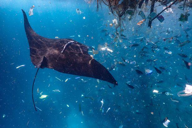 Thảm cảnh cá đuối bơi giữa biển rác ni lông ở Indonesia Ảnh 1