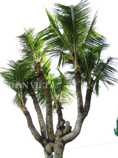 Cần Thơ: Xuất hiện những cây dừa độc, lạ, có cây ra 38 ngọn Ảnh 1