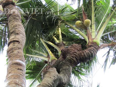 Cần Thơ: Xuất hiện những cây dừa độc, lạ, có cây ra 38 ngọn Ảnh 2