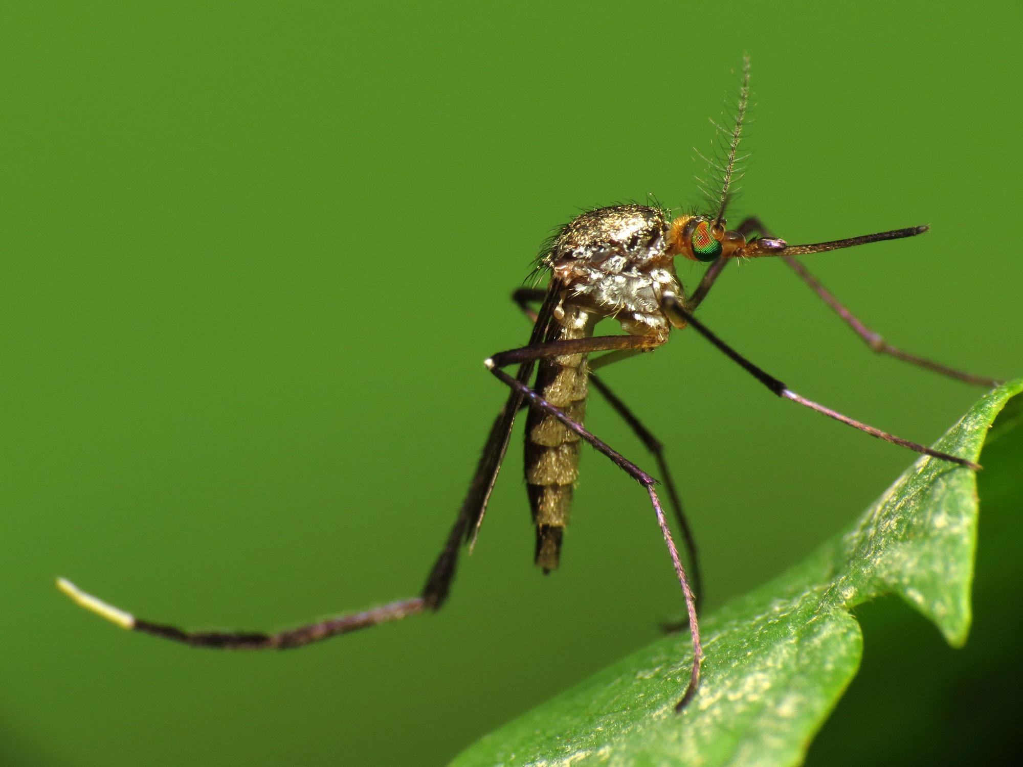Hiểm họa khi phát hiện muỗi mang hạt nhựa siêu nhỏ làm lây lan sang thực phẩm Ảnh 1