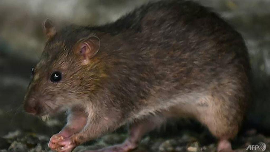 Bệnh nhân đầu tiên trên thế giới nhiễm viêm gan E từ chuột Ảnh 1