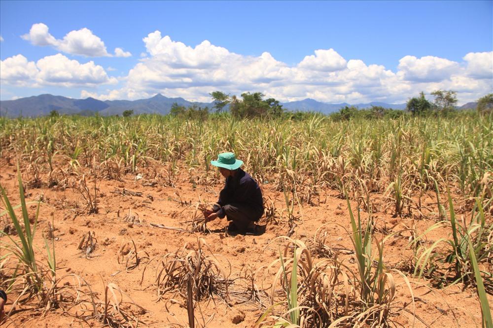 Ninh Thuận: Bị nhà máy 'bỏ rơi', nông dân không mặn mà với cây mía Ảnh 1