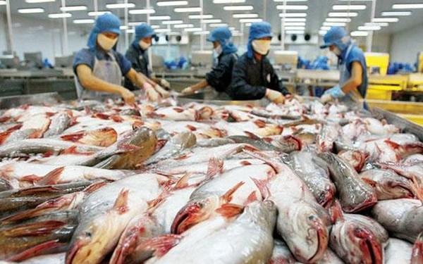 Giá cá tra ở mức cao, nông dân hồ hởi thu tiền tỷ Ảnh 1