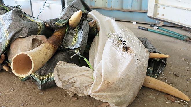 8 tấn ngà voi, vảy tê khai báo là phế liệu nhập về Đà Nẵng Ảnh 6