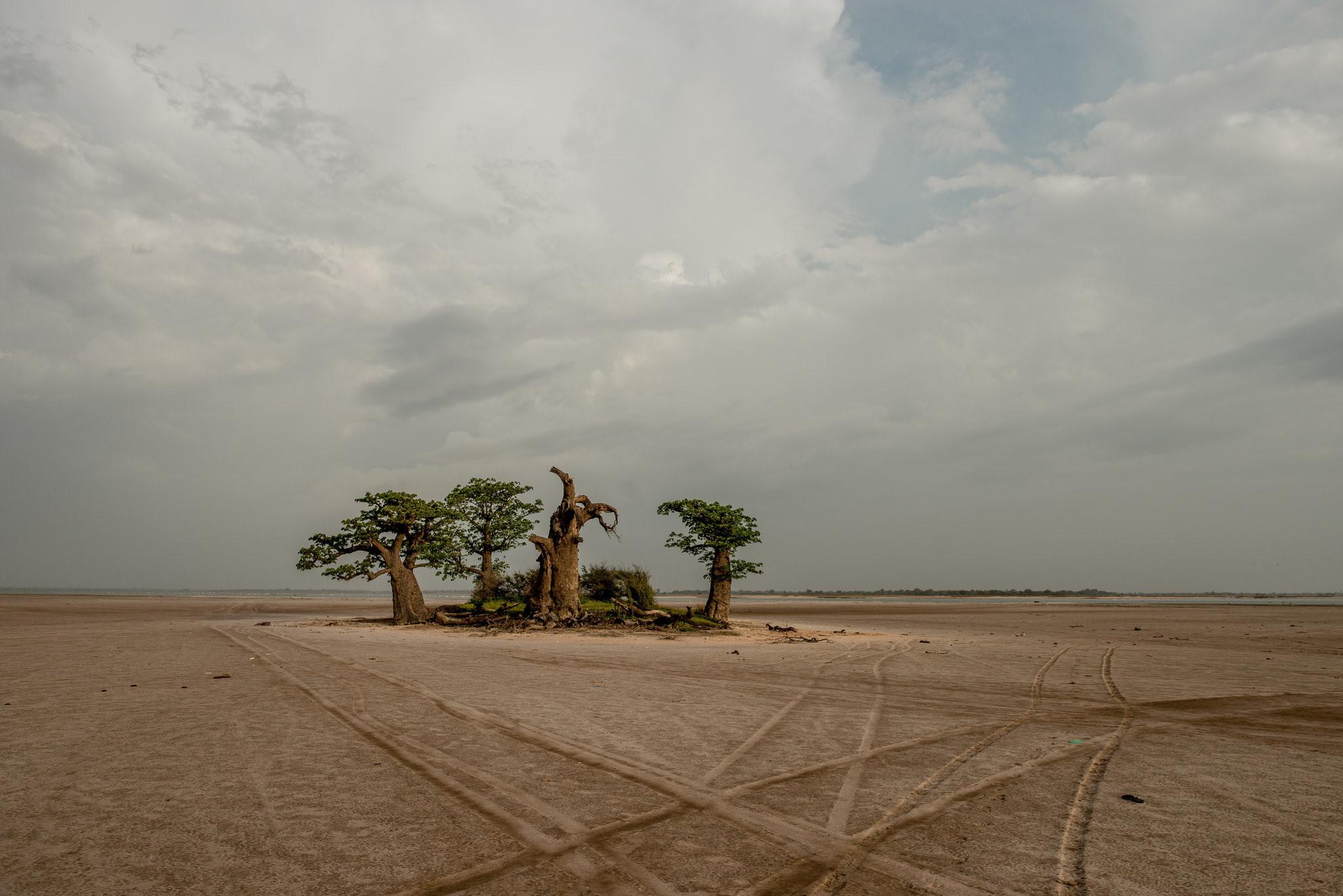 Cây thiêng trăm năm của Senegal chết dần trong thời hiện đại Ảnh 5