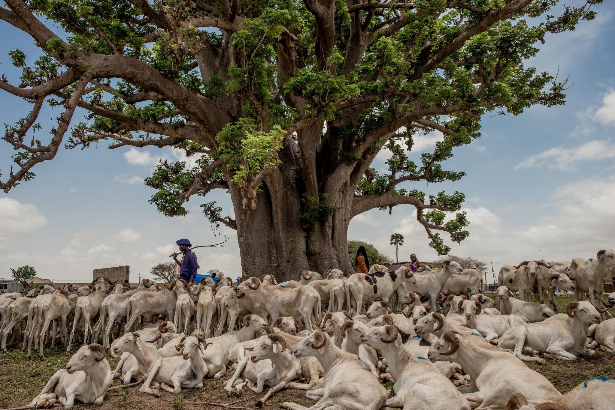 Cây thiêng trăm năm của Senegal chết dần trong thời hiện đại Ảnh 11