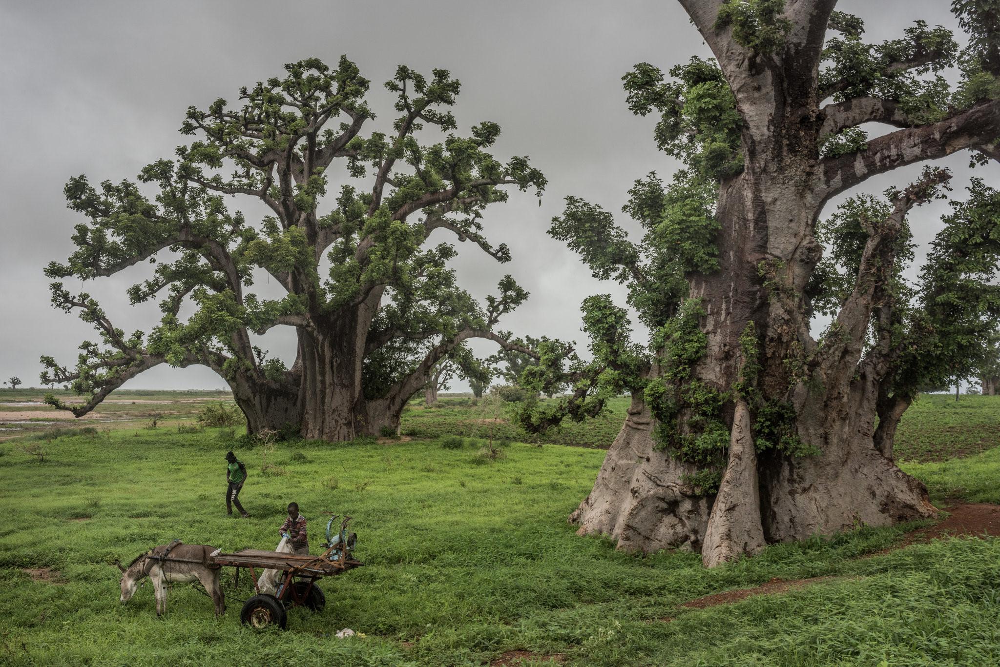 Cây thiêng trăm năm của Senegal chết dần trong thời hiện đại Ảnh 8