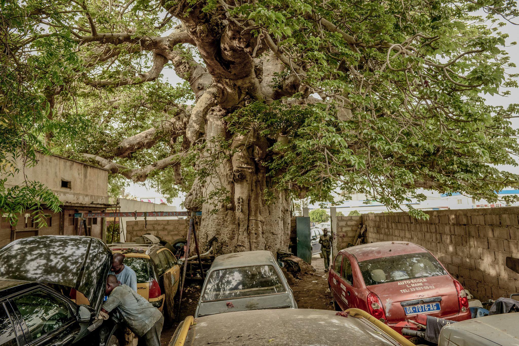 Cây thiêng trăm năm của Senegal chết dần trong thời hiện đại Ảnh 1