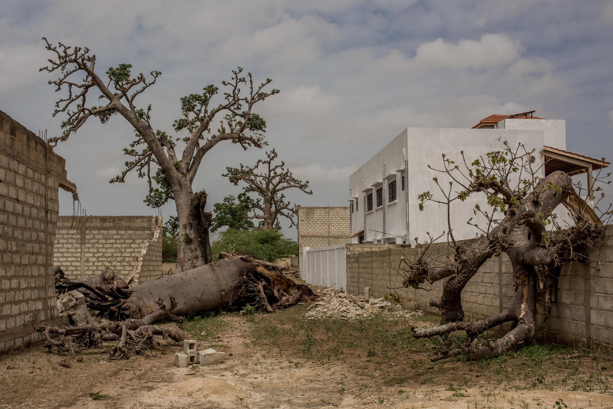 Cây thiêng trăm năm của Senegal chết dần trong thời hiện đại Ảnh 7