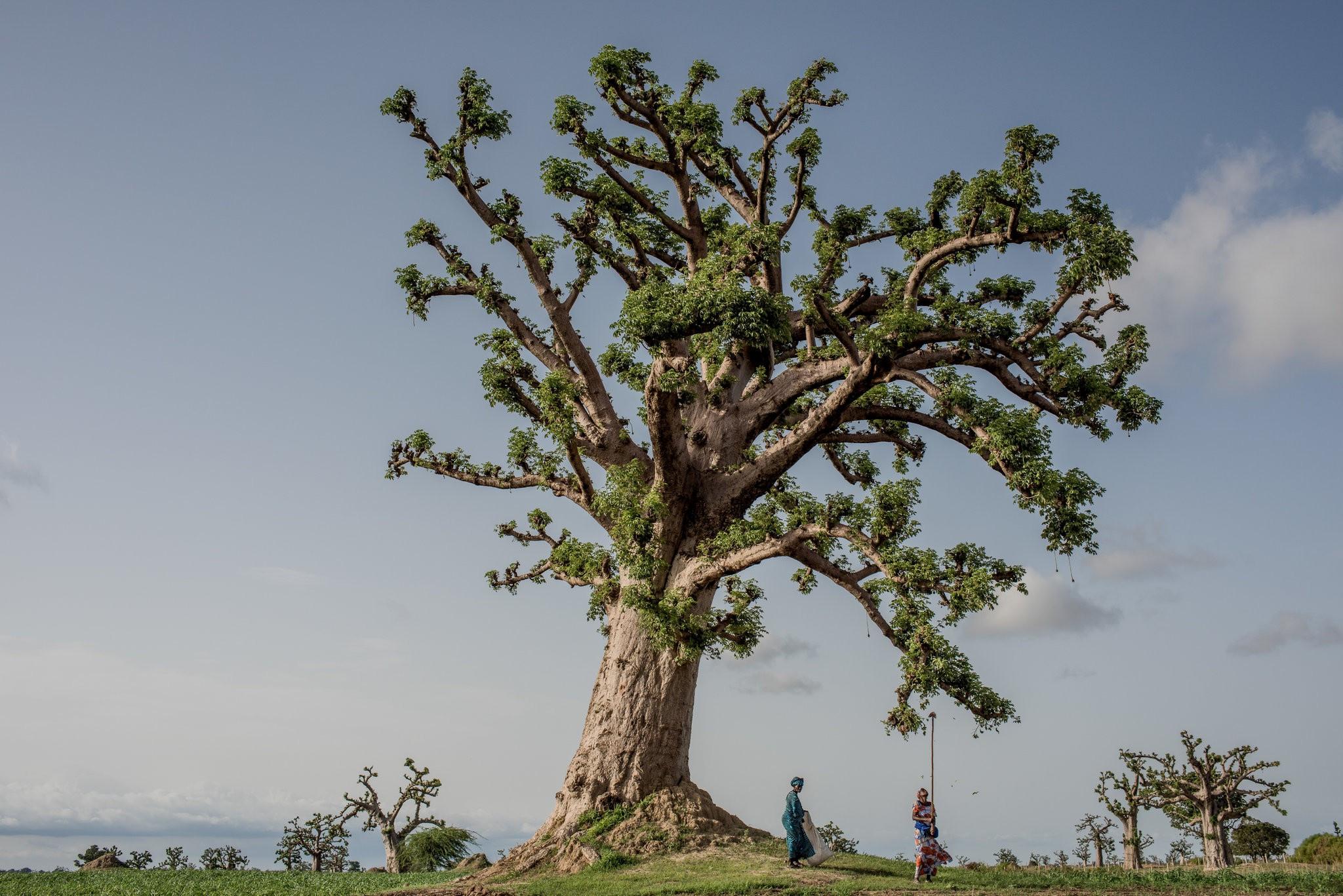 Cây thiêng trăm năm của Senegal chết dần trong thời hiện đại Ảnh 10