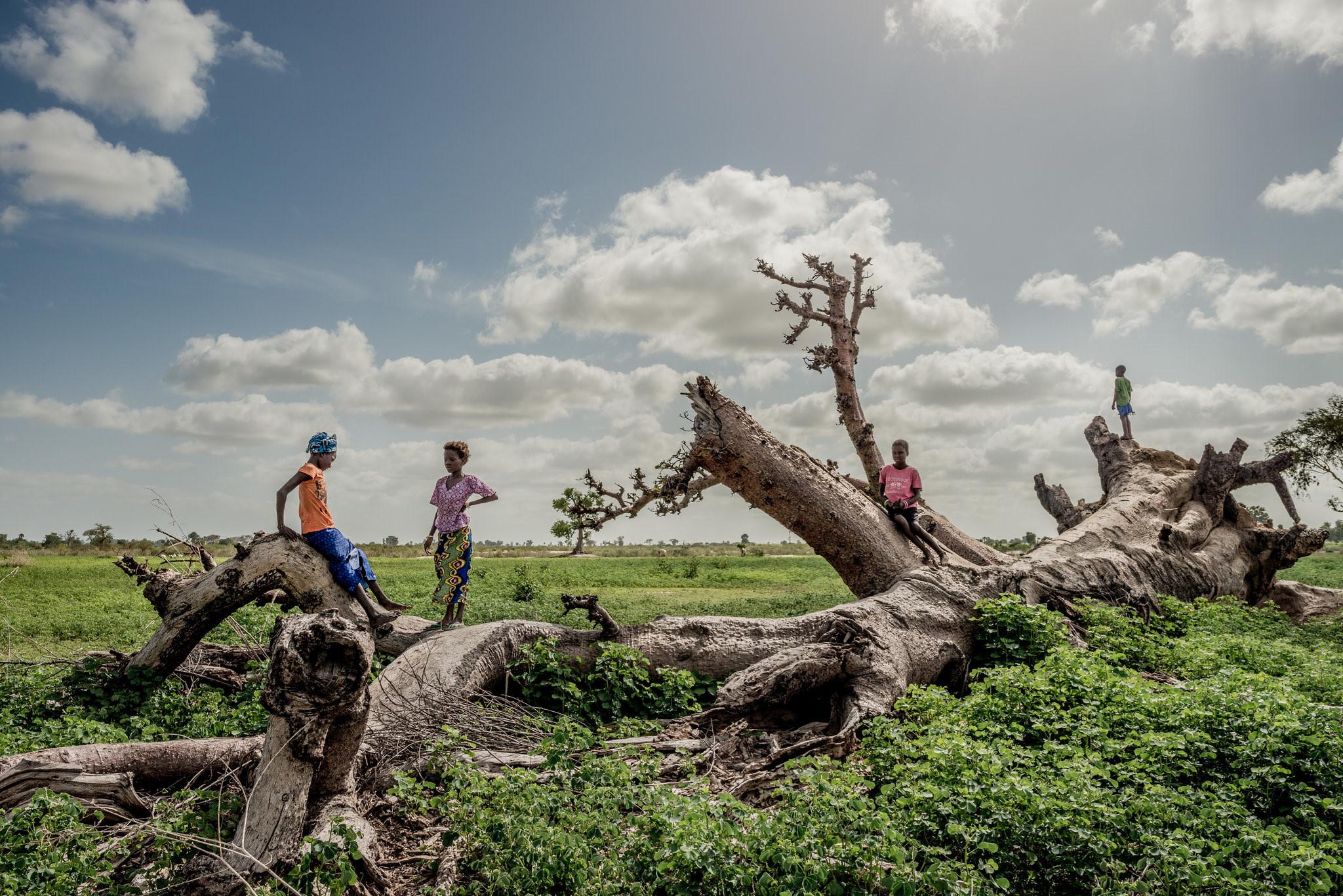 Cây thiêng trăm năm của Senegal chết dần trong thời hiện đại Ảnh 4