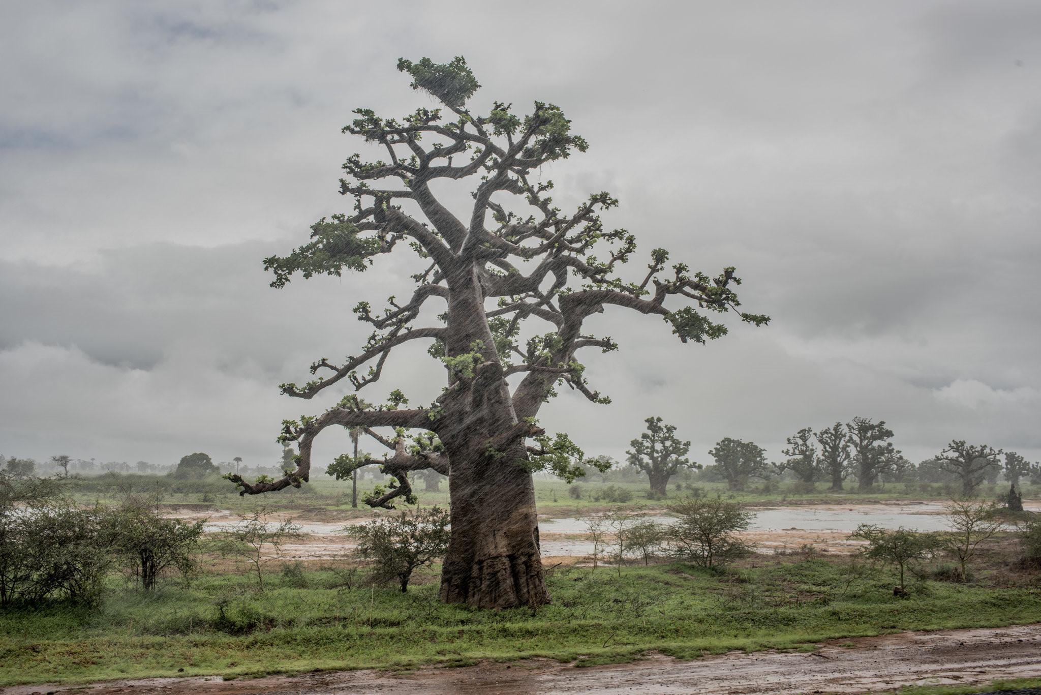 Cây thiêng trăm năm của Senegal chết dần trong thời hiện đại Ảnh 3