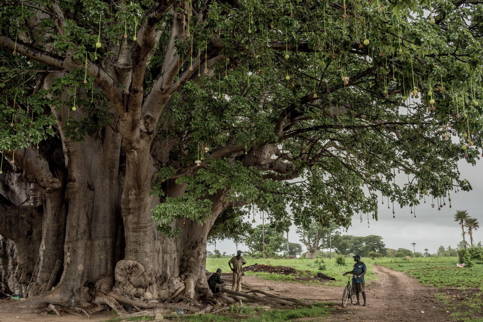 Cây thiêng trăm năm của Senegal chết dần trong thời hiện đại Ảnh 2