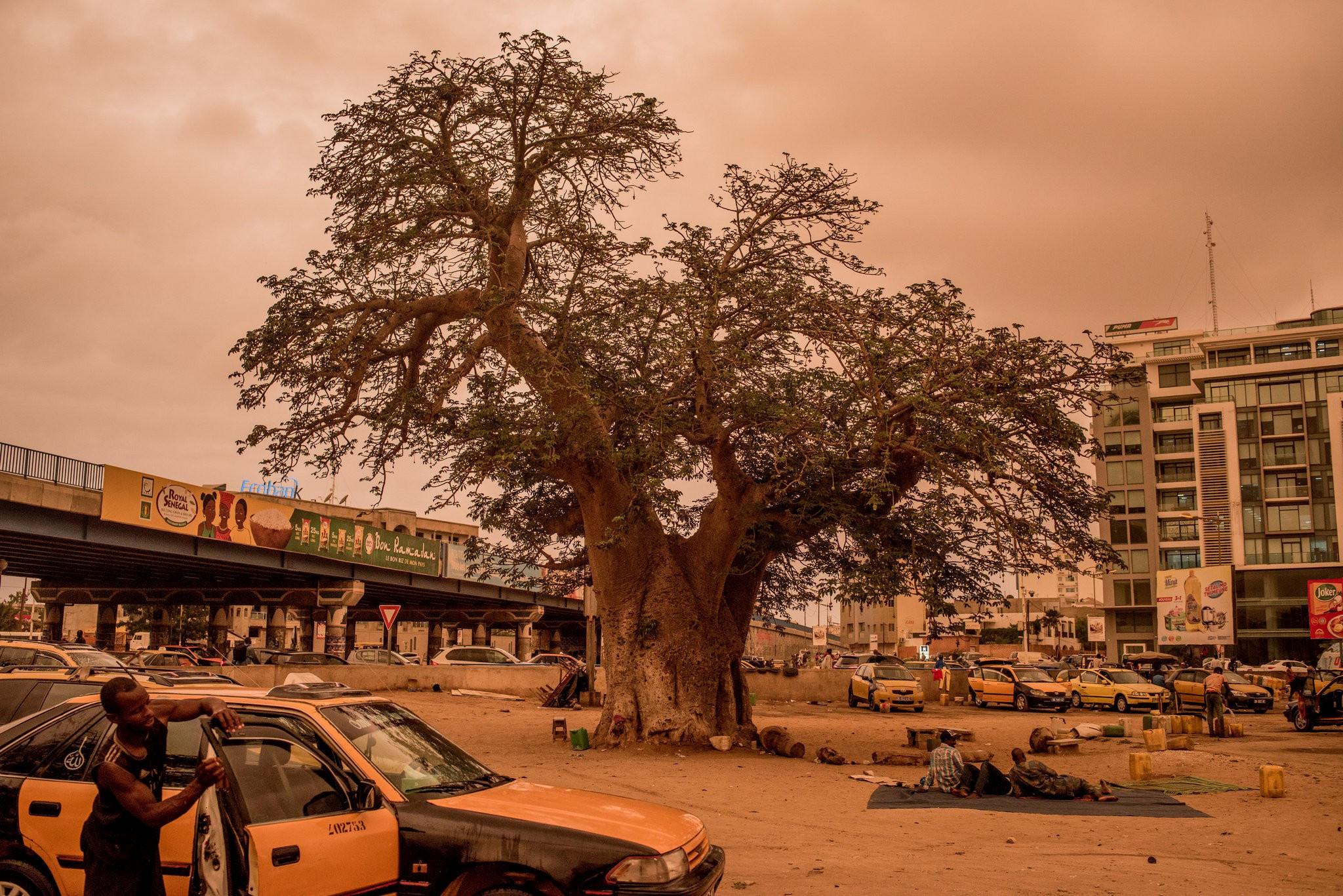 Cây thiêng trăm năm của Senegal chết dần trong thời hiện đại Ảnh 6