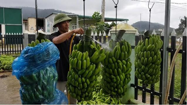 Trồng chuối Laba, nông dân Lâm Đồng thu lãi sòn sòn nửa tỷ/ha Ảnh 4