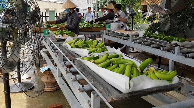 Trồng chuối Laba, nông dân Lâm Đồng thu lãi sòn sòn nửa tỷ/ha Ảnh 7