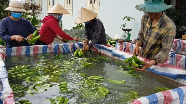 Trồng chuối Laba, nông dân Lâm Đồng thu lãi sòn sòn nửa tỷ/ha Ảnh 6