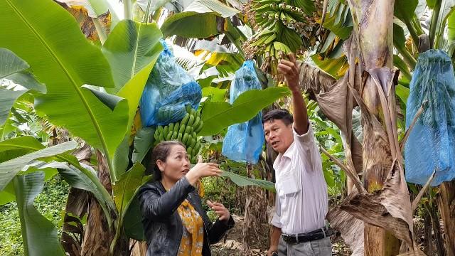 Trồng chuối Laba, nông dân Lâm Đồng thu lãi sòn sòn nửa tỷ/ha Ảnh 2
