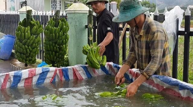 Trồng chuối Laba, nông dân Lâm Đồng thu lãi sòn sòn nửa tỷ/ha Ảnh 5