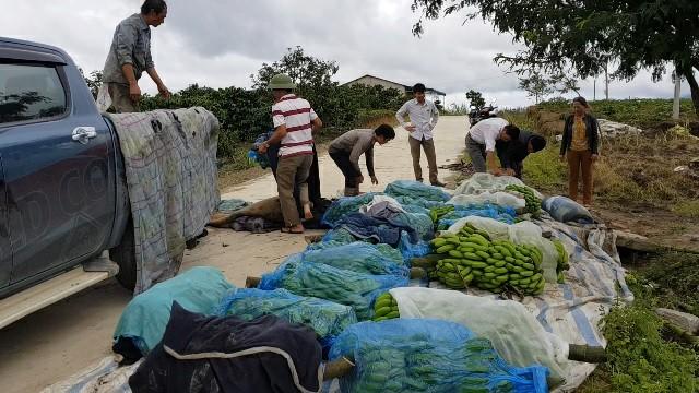 Trồng chuối Laba, nông dân Lâm Đồng thu lãi sòn sòn nửa tỷ/ha Ảnh 3