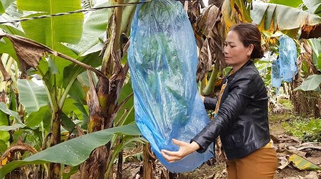Trồng chuối Laba, nông dân Lâm Đồng thu lãi sòn sòn nửa tỷ/ha Ảnh 1