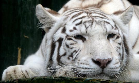 Hổ trắng quý hiếm vồ chết nhân viên sở thú Nhật Bản Ảnh 1
