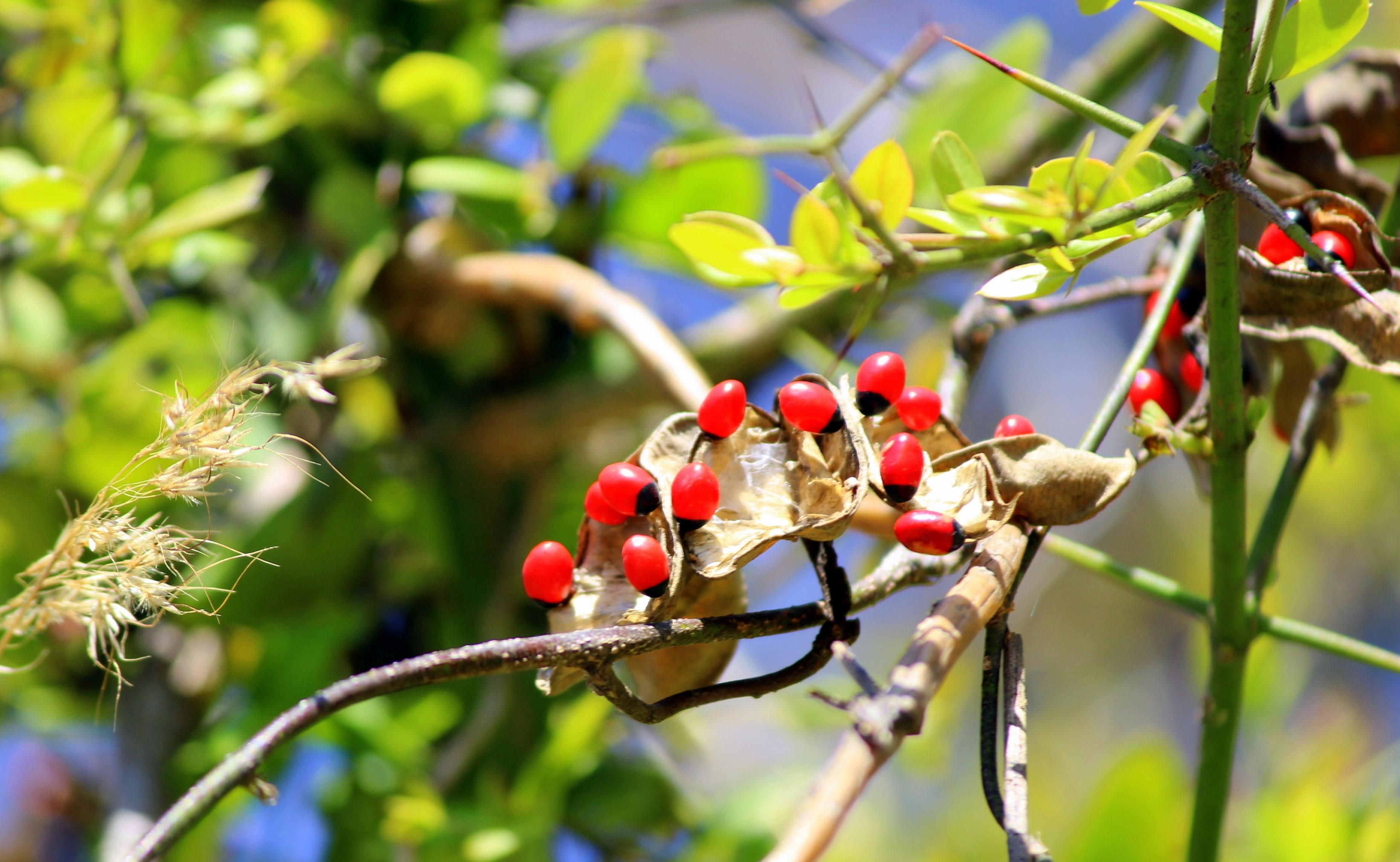 Những loài cây độc nhất thế giới Ảnh 7