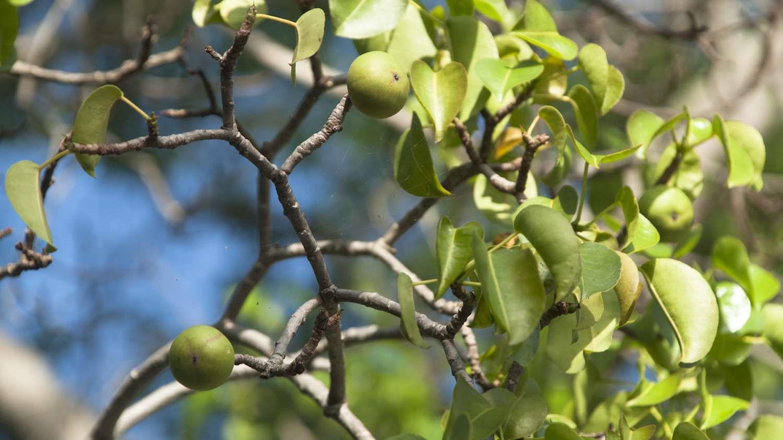 Những loài cây độc nhất thế giới Ảnh 3