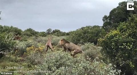 Vừa chào đời, hươu cao cổ bị sư tử xơi tái Ảnh 4