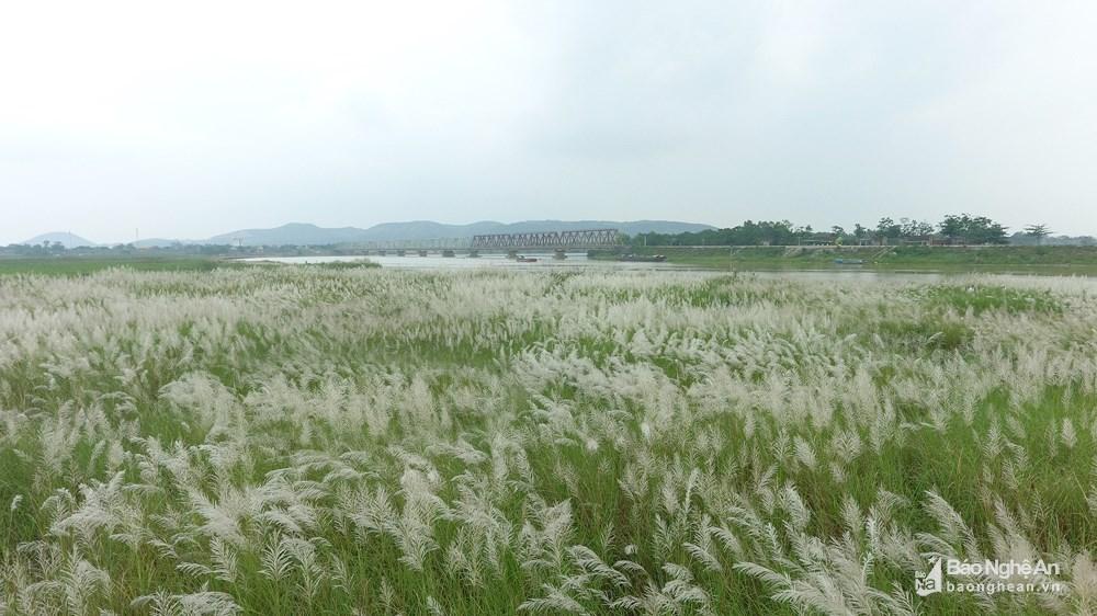 Vẻ đẹp trinh nguyên của bãi lau bên triền sông Lam Ảnh 3