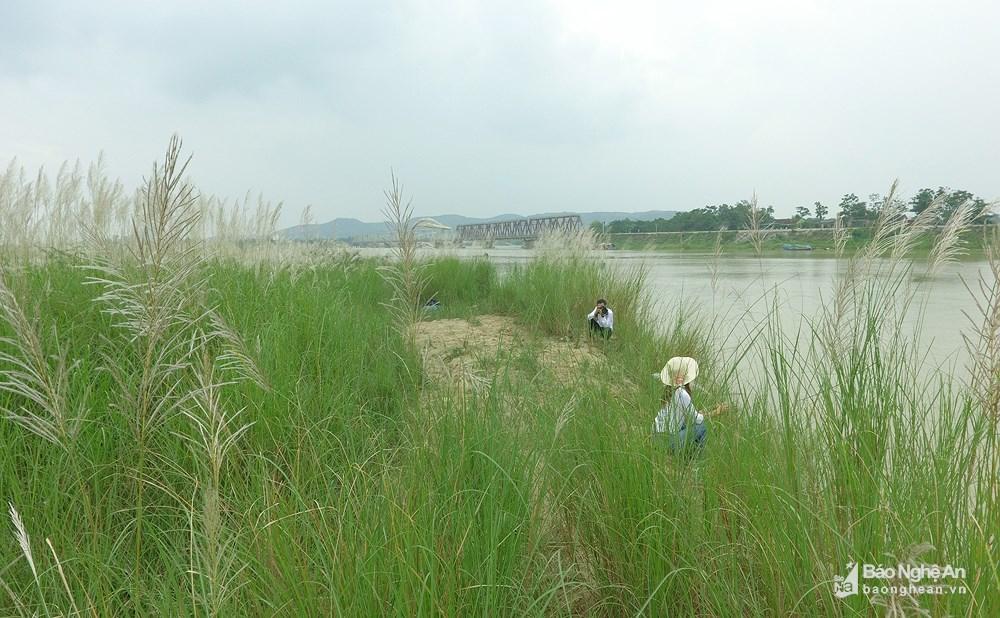 Vẻ đẹp trinh nguyên của bãi lau bên triền sông Lam Ảnh 6