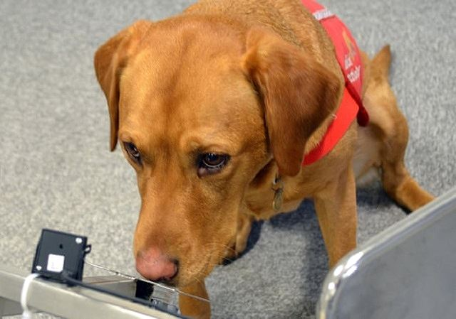 Chó có thể giúp con người chẩn đoán bệnh bằng khướu giác? Ảnh 1