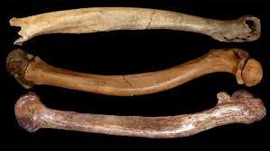 Giao phối cận huyết khiến xương của người cổ đại có nhiều dị tật ảnh 1