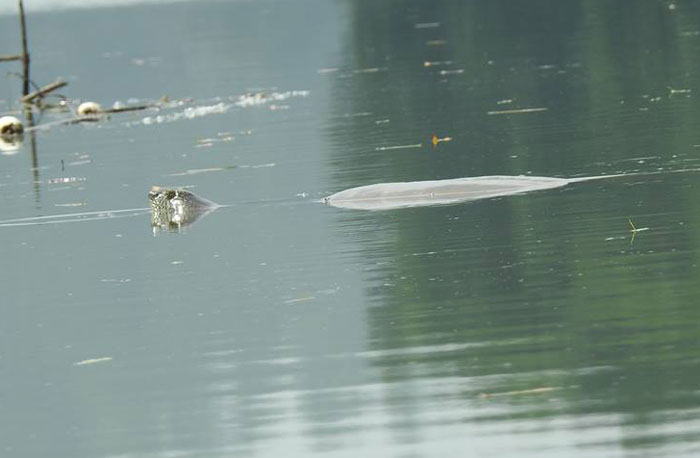 Có nhiều hơn một rùa Hoàn Kiếm ở hồ Đồng Mô? Ảnh 1