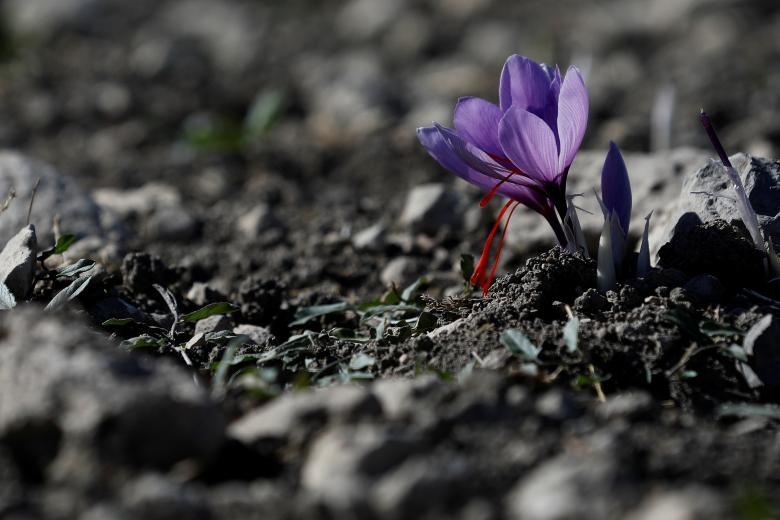 Nghề kinh doanh nhụy hoa nghệ tây - saffron 'nở rộ' ở Hy Lạp Ảnh 1