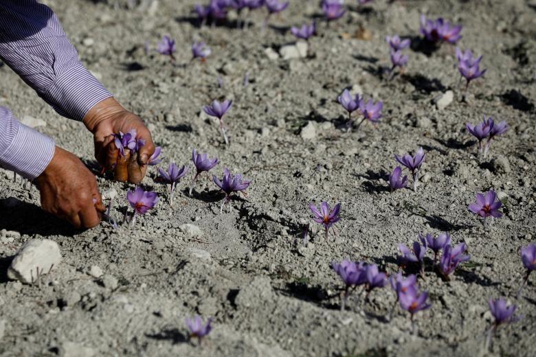 Nghề kinh doanh nhụy hoa nghệ tây - saffron 'nở rộ' ở Hy Lạp Ảnh 6