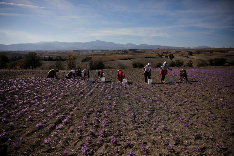 Nghề kinh doanh nhụy hoa nghệ tây - saffron 'nở rộ' ở Hy Lạp Ảnh 8