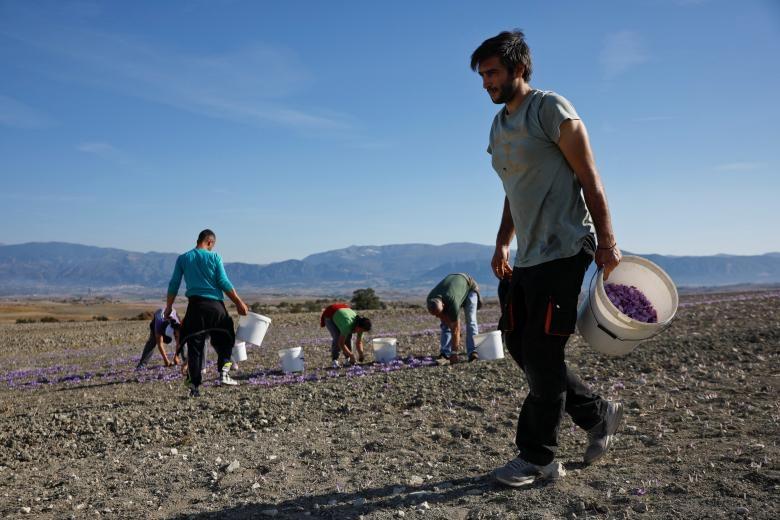 Nghề kinh doanh nhụy hoa nghệ tây - saffron 'nở rộ' ở Hy Lạp Ảnh 9