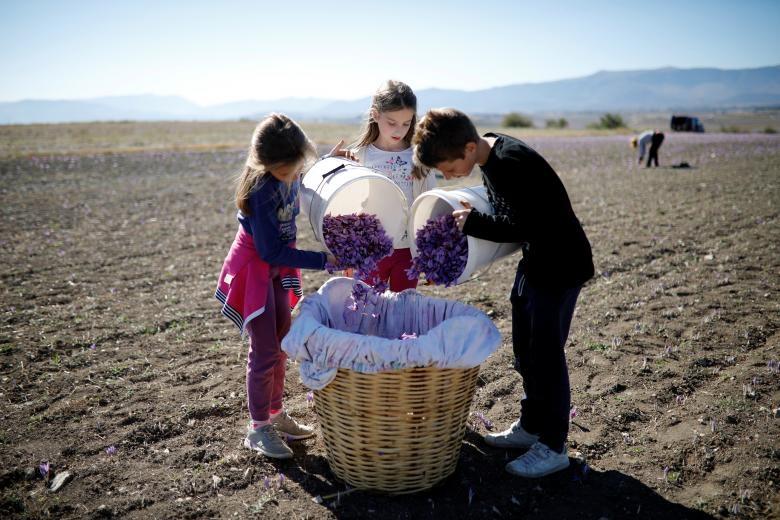 Nghề kinh doanh nhụy hoa nghệ tây - saffron 'nở rộ' ở Hy Lạp Ảnh 5
