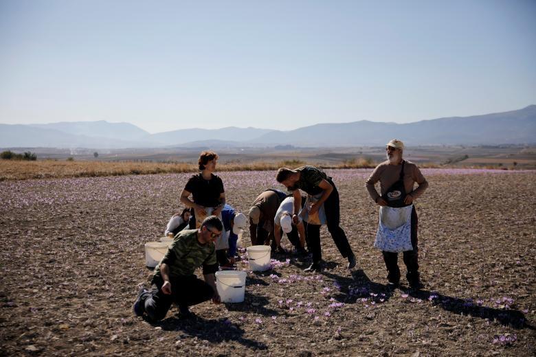 Nghề kinh doanh nhụy hoa nghệ tây - saffron 'nở rộ' ở Hy Lạp Ảnh 16