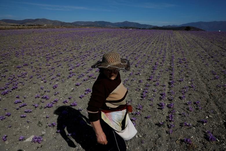 Nghề kinh doanh nhụy hoa nghệ tây - saffron 'nở rộ' ở Hy Lạp Ảnh 17