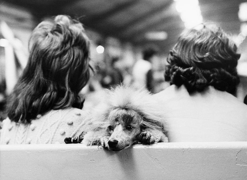Những bức ảnh đen trắng hiếm có về Dog Show ở Anh giữa thế kỷ 20 Ảnh 8