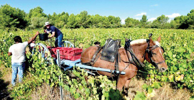 Người Pháp chuộng rượu vang hữu cơ Ảnh 1