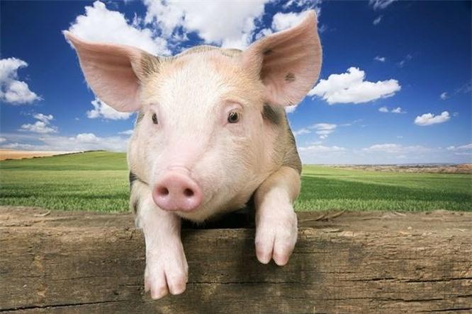 Top 10 loài động vật thông minh nhất trên hành tinh Ảnh 8