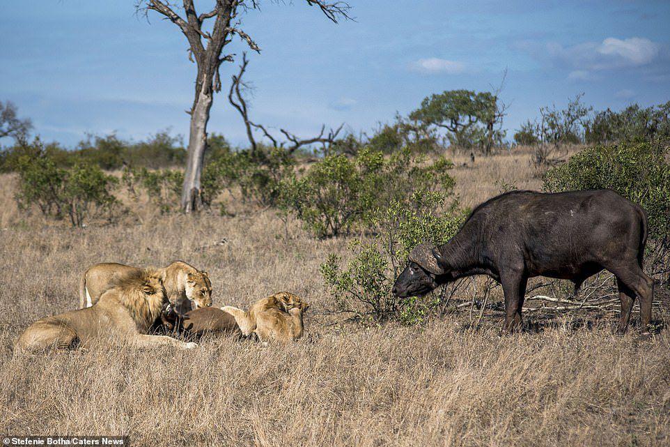 Sư tử ăn thịt trâu non, trâu lớn lao đến tung đòn sấm sét Ảnh 3