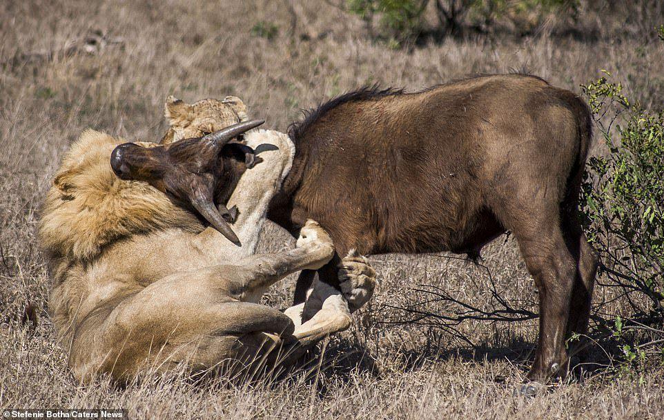 Sư tử ăn thịt trâu non, trâu lớn lao đến tung đòn sấm sét Ảnh 1