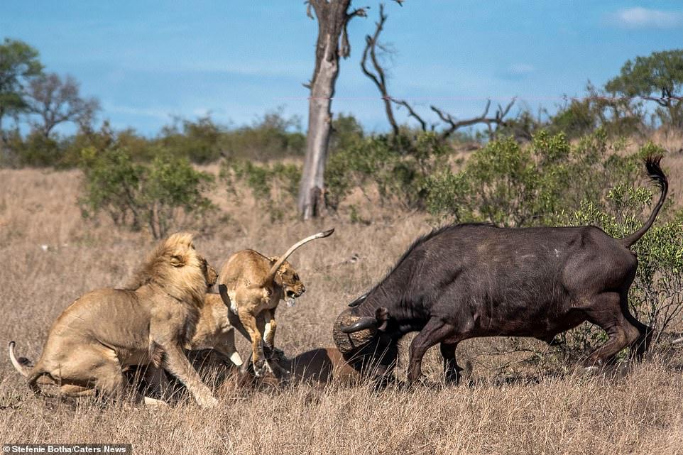 Sư tử ăn thịt trâu non, trâu lớn lao đến tung đòn sấm sét Ảnh 5